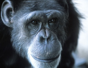 Washoe, the first chimp to use sign language, in 1995